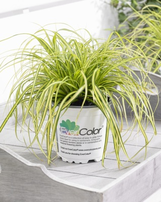 Carex EverColor® 'Eversheen' in pot