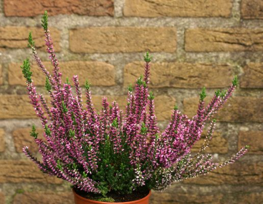 Calluna Lady in Pink in pot