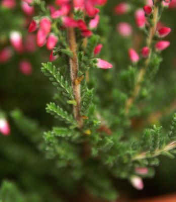 Calluna Lady in Red foliage