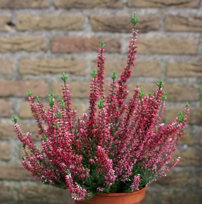 Calluna Lady in Red in pot