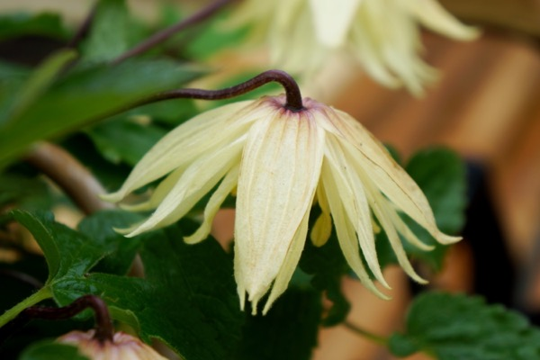 Clematis Amber flower close-up