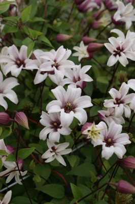 Clematis Princess Kate flower image