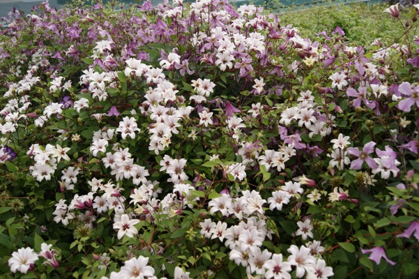 Clematis Princess Kate in garden