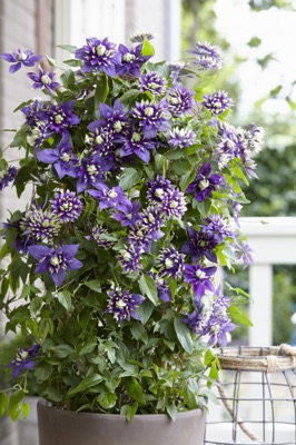 Clematis Taiga on patio