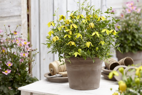Clematis Little Lemons on patio