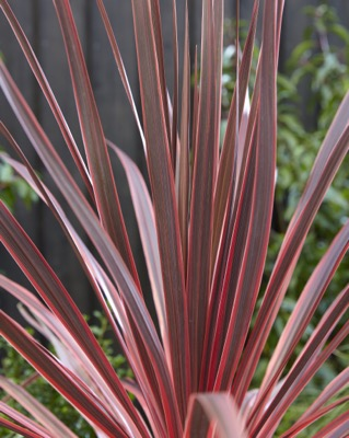 Cordyline Charlie Boy foliage