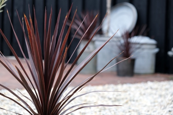 Cordyline Little Red Star foliage