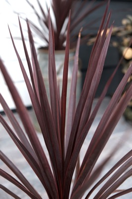 Cordyline Little Red Star foliage close-up