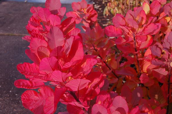 Cotinus Old Fashioned foliage