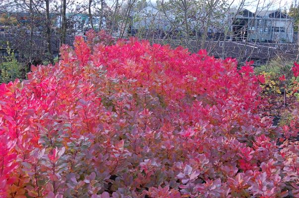 Cotinus Old Fashioned in garden