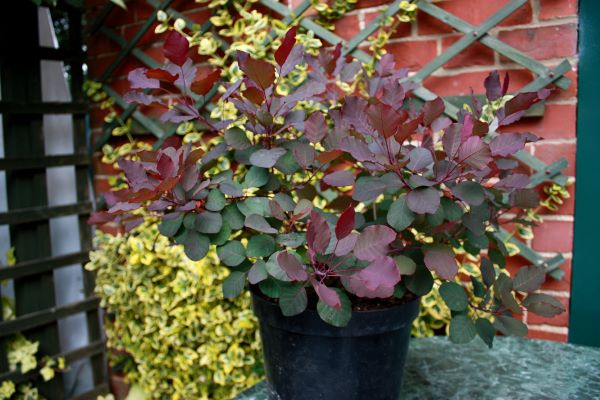Cotinus Dusky Maiden in pot