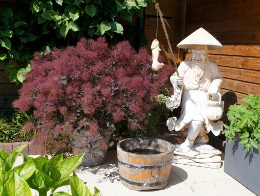 Cotinus Dusky Maiden on patio