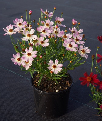 Coreopsis Bloomsation Chameleon in pot