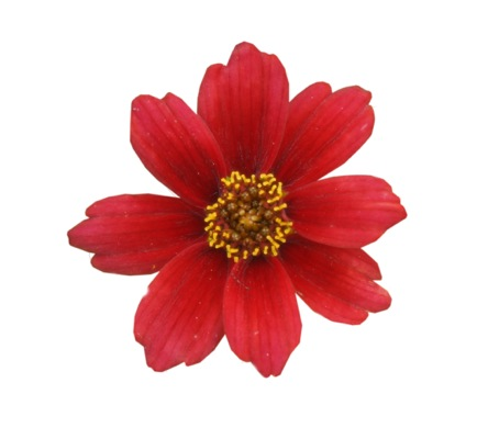 Coreopsis Twinklebells Red flower close-up