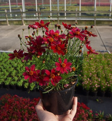 Coreopsis Bloomsation Dragon in pot