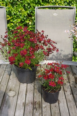 Coreopsis Bloomsation Dragon on patio