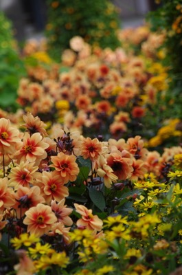 Dahlia Dreamy® Eyes in garden