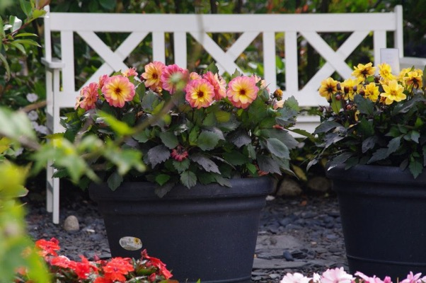 Dahlia Dreamy® Eyes on patio