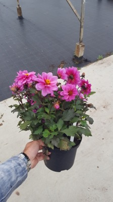 Dahlia Dreamy® Kiss in pot
