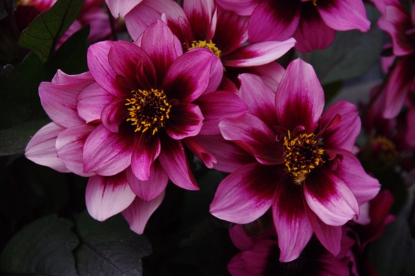Dahlia Dreamy® Nights flower image