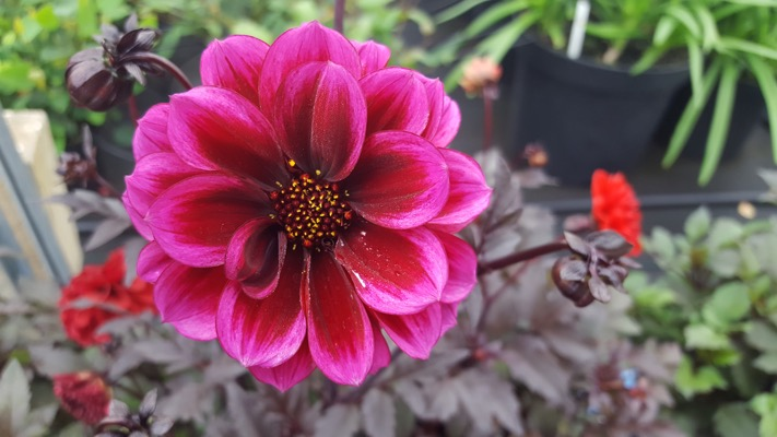 Dahlia Dreamy® Nights flower close-up