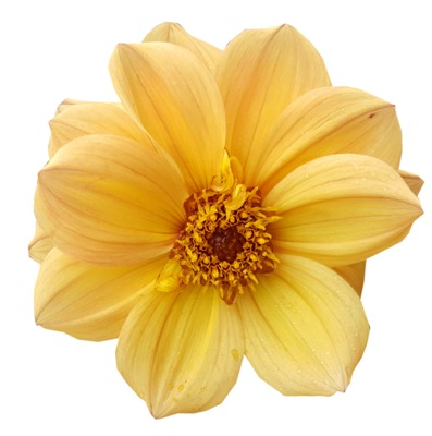 Dahlia Dreamy® Sunlight flower close-up