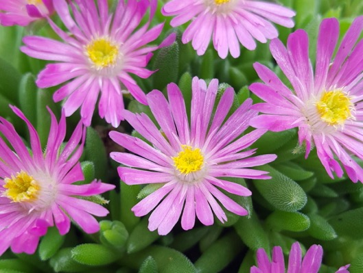 Delosperma Jewel of Desert Candystone flower close-up
