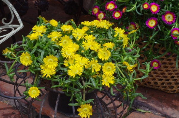 Delosperma Wheels of Wonder™ Golden Wonder on patio