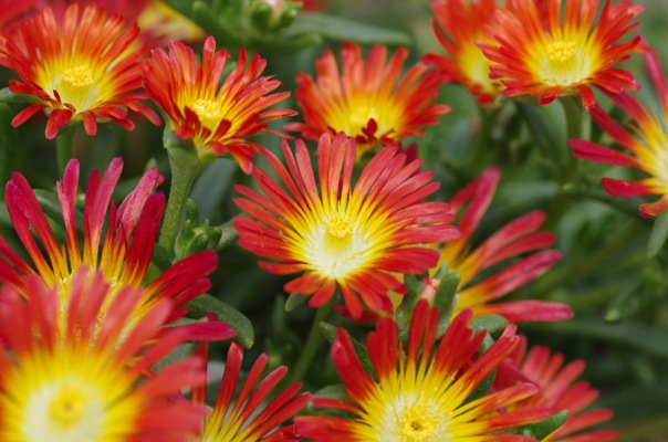 Delosperma Wheels of Wonder™ Fire Wonder flower image