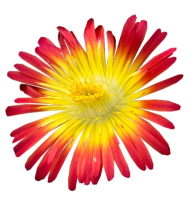 Delosperma Wheels of Wonder™ Fire Wonder flower close-up
