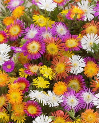 General image of Delosperma Wheels of Wonder™ Orange Wonder
