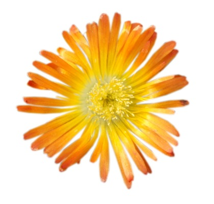 Delosperma Wheels of Wonder™ Orange Wonder flower close-up