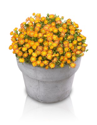 Delosperma Wheels of Wonder™ Orange Wonder in pot