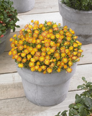 Delosperma Wheels of Wonder™ Orange Wonder on patio