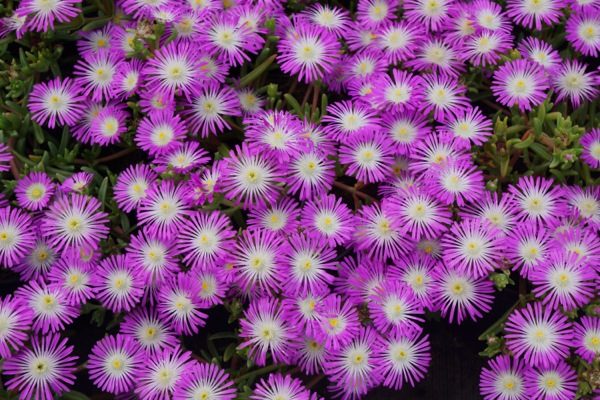 Delosperma Wheels of Wonder™ Violet Wonder flower image