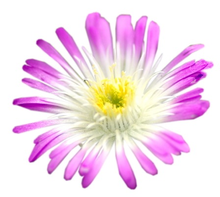 Delosperma Wheels of Wonder™ Violet Wonder flower close-up