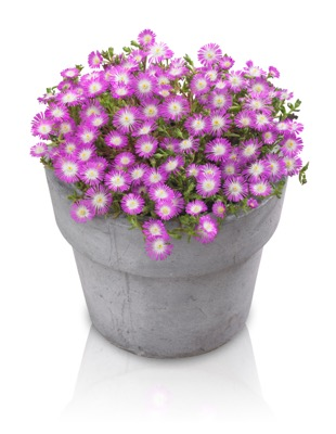 Delosperma Wheels of Wonder™ Violet Wonder in pot