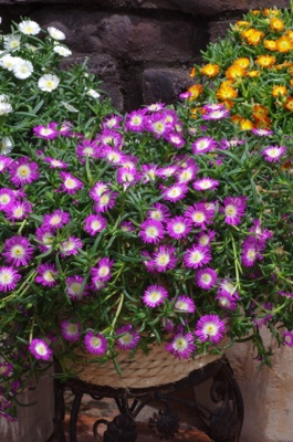 Delosperma Wheels of Wonder™ Violet Wonder on patio