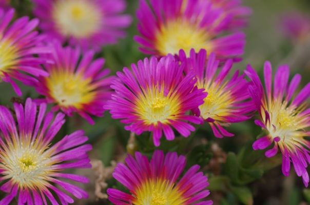 Delosperma Wheels of Wonder™ Hot Pink Wonder flower image