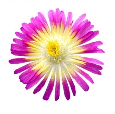 Delosperma Wheels of Wonder™ Hot Pink Wonder flower close-up