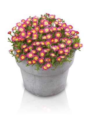 Delosperma Wheels of Wonder™ Hot Pink Wonder in pot