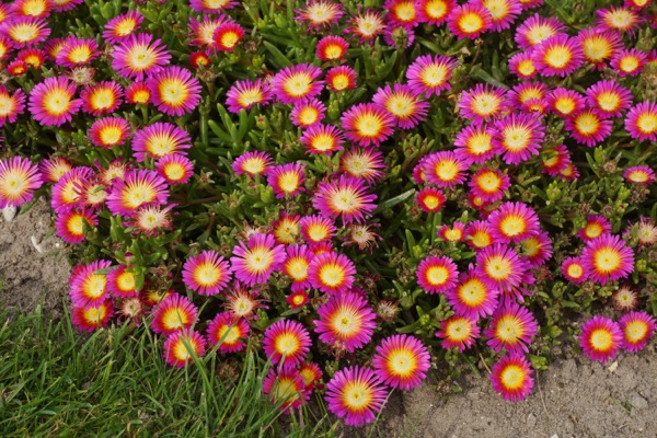 Delosperma Wheels of Wonder™ Hot Pink Wonder in garden