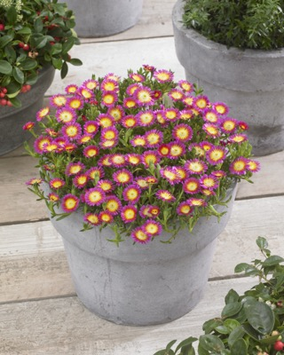Delosperma Wheels of Wonder™ Hot Pink Wonder on patio