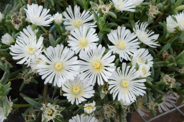 Delosperma Wheels of Wonder™ White Wonder flower image