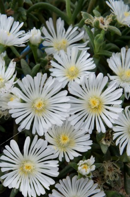 Delosperma Wheels of Wonder™ White Wonder flower close-up