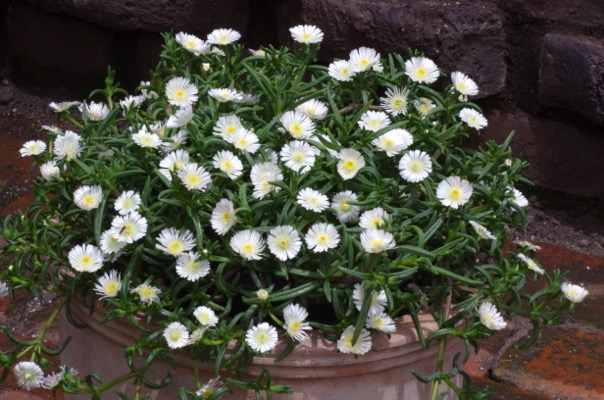 Delosperma Wheels of Wonder™ White Wonder on patio