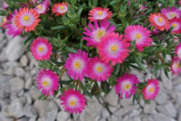 Delosperma Jewel of Desert Amethyst flower image