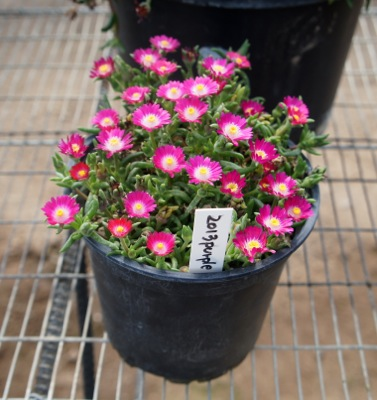 Delosperma Jewel of Desert Amethyst in pot
