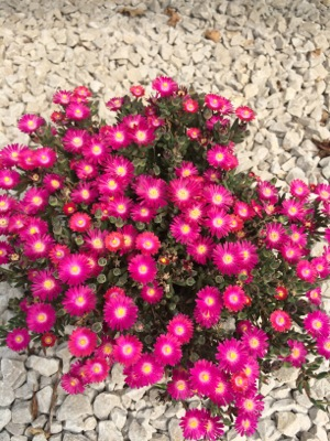 Delosperma Jewel of Desert Amethyst in garden