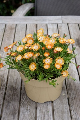 Delosperma Jewel of Desert Topaz in pot